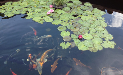 Rk2 ponds pond water quality for Koi pond temperature